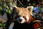 Red Panda (Ailurus fulgens)